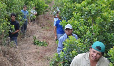 Nación fijó en 4,80 pesos el nuevo precio de la hoja verde de yerba mate