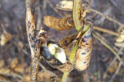 Con grandes pérdidas económicas, finaliza la cosecha de soja en la provincia