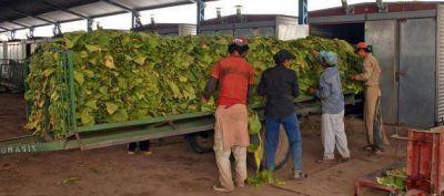 Salta aporta casi el 31% de la producción total de tabaco del país