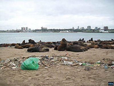 En vísperas del Día del Ambiente debieron liberar de zunchos a 4 lobos marinos