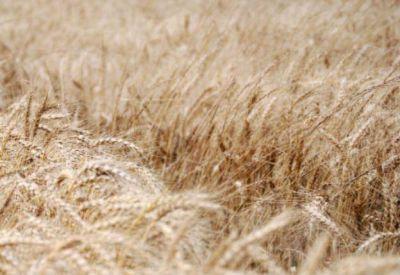 Registran la primera venta a futuro del trigo 2016/17