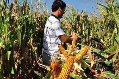 El maíz comienza a recuperar un lugar también en la zona