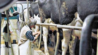 Crisis de la lechería: tamberos denuncian