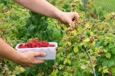 150 mil kilos de fruta fina en las cámaras de frío