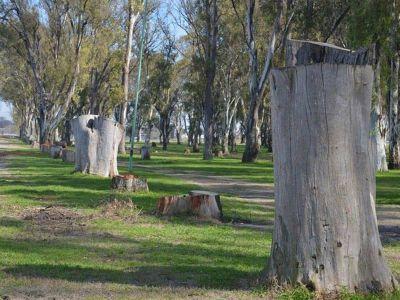 Balestrasse explicó que se talaron 55 árboles