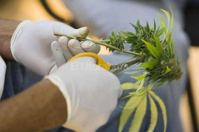 En Santa Fe se formó una asociación de usuarios de marihuana medicinal