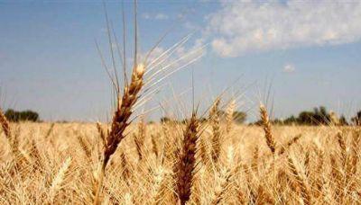La siembra de trigo creció 23 por ciento en Córdoba