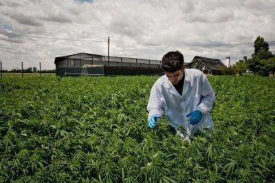 Cannabis medicinal: desde Cambiemos quieren legalizar su investigación científica