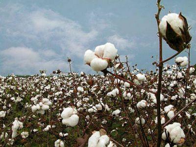 Buscan que Salta adhiera a la ley nacional algodonera