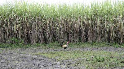 La caña da para todo: azúcar, bioetanol y ahora, electricidad