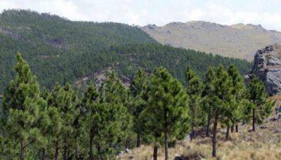 En 20 años, Córdoba perdió el 70 por ciento de los pinos implantados