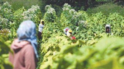 FET: complicada situación para los productores tabacaleros