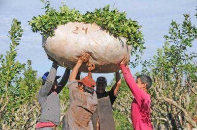 Marcha atrás en el Inym: fijó en 5,10 pesos el kilo de hoja verde