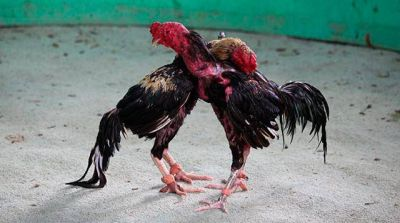 Denuncian que en barrios perif�ricos se realizan �ri�as� de gallos y perros por dinero