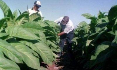 Hoy abonan más de 52 millones de pesos a más de 13 mil productores tabacaleros