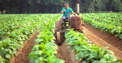 Tabaco Criollo Misionero: hoy pagan más de 500 mil pesos