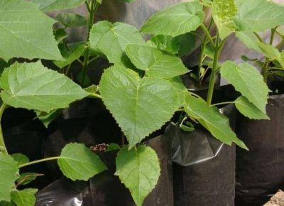 San Luis produce m�s de 100 mil plantas paulownia