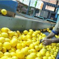 Estados Unidos volver� a comprar limones tucumanos