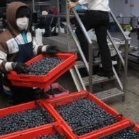 No hay derrame: detectan a 300 trabajadores del ar�ndano sin registrar