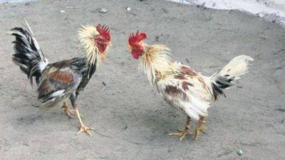 Elevarán denuncias por riñas de gallos a la Fiscalía General