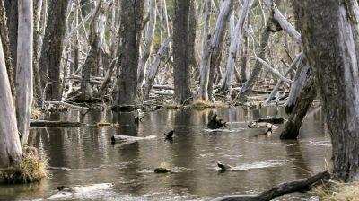 Buscarán eliminar 100.000 castores en Tierra del Fuego para salvar los bosques