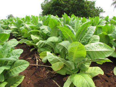 Tabacaleros amenazan con volver la ruta por demoras de Nación en los pagos del FET
