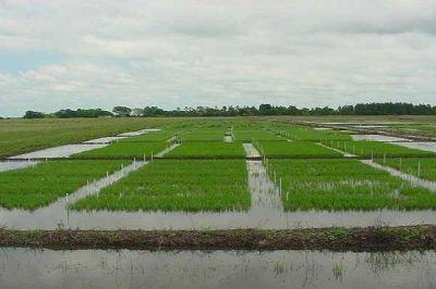 Finalizó la siembra de arroz en Entre Ríos