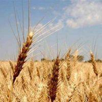 Comenzará el primer monitoreo de la calidad de trigo en Córdoba