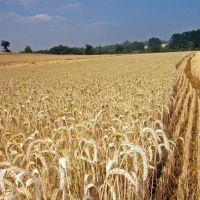 Se cosechó más del 70 por ciento del trigo de la provincia