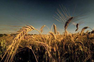 La producción de trigo alcanzaría las 840 mil toneladas en Entre Ríos