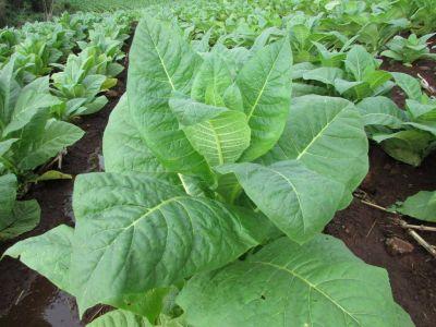 Preocupa la falta de galpones para el secado del tabaco