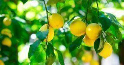 El vivero de cítricos más grande del mundo producirá limones para exportar a EEUU