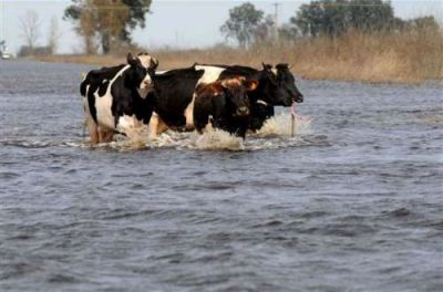Por las inundaciones, los campos salteños recibirán vacas cordobesas