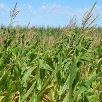 Precio San Luis: el maíz y la soja actualizaron sus valores