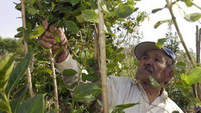 Productores agrarios prevén un yerbatazo