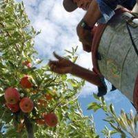 Anuncian aumento del 35% para fruticultores de Río Negro y Neuquén