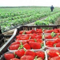Continúan las gestiones para eliminar aranceles de exportación de la frutilla tucumana a EE UU