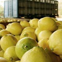 Estados Unidos suspendió por 60 días la importación de limones