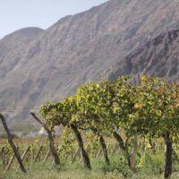 La superficie de vid en San Juan y Mendoza mostraron un ligero retroceso este año