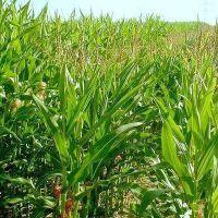 Gualeguaychú es el departamento con mayor área sembrada con maíz de primera