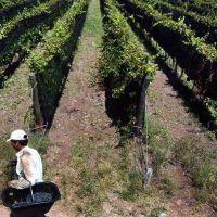 Se adelantó la cosecha y falta gente para levantar la uva