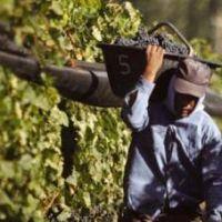 En San Juan se cosecharon más de 101 millones de kilos de uva