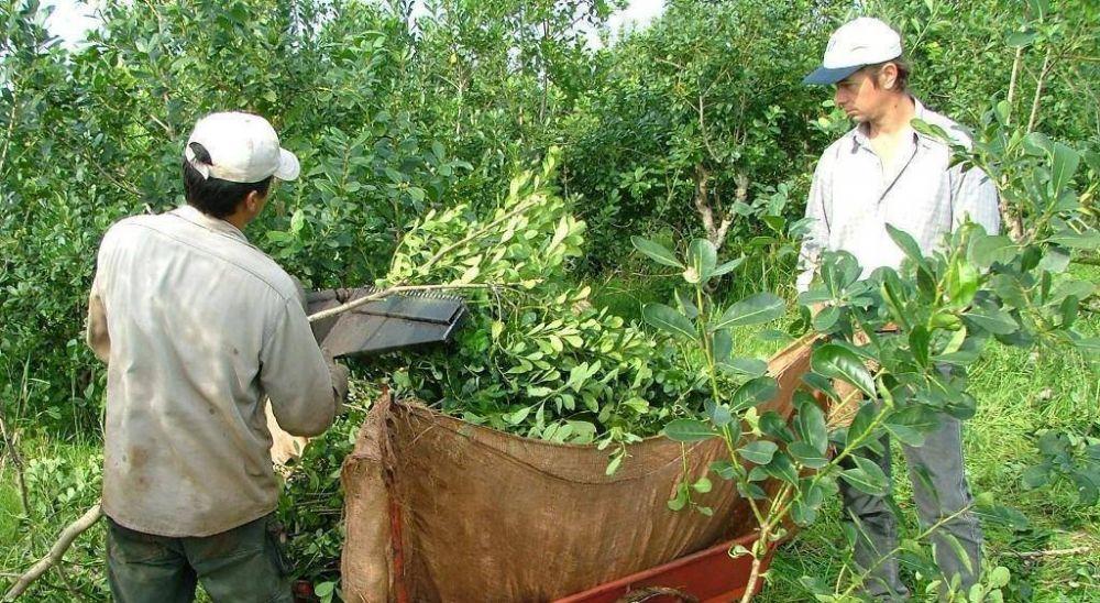 Con Misiones del lado de los productores y Corrientes apoyando a la industria, el precio de la yerba fue al laudo