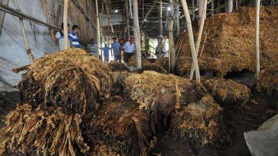 El sector tabacalero sufrió daños irrecuperables a causa de las tormentas en el sur