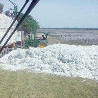 Algodón: sólo el 13% de los lotes se cosecharon y el clima condiciona el ingreso de las máquinas