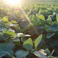 En Entre Ríos se sembró 11 por ciento menos de soja