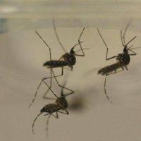 Hallan un mosquito transmisor del dengue en Bahía