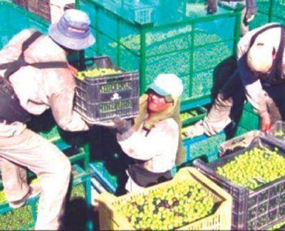 Preocupa la falta de recursos para levantar cosecha olivícola