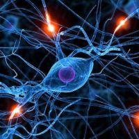Crean por primera vez neuronas y buscan usarlas para reparar daños en la médula