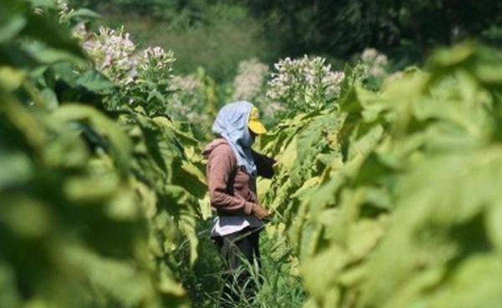 Productores tucumanos esperan la llegada de fondos del tabaco